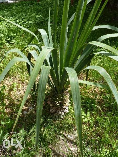 Палма ЮКА - гледана с много грижи гр. Гълъбово - image 1
