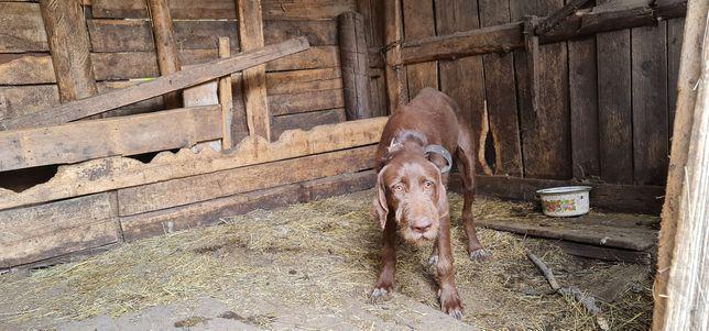 Продам охотничью собаку Дратхаар