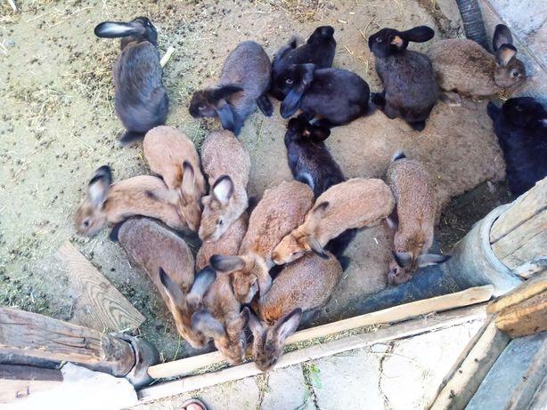 Продаются кролята