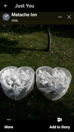 Porumbei albi voiajori puii, si curcani albi din a doua serie