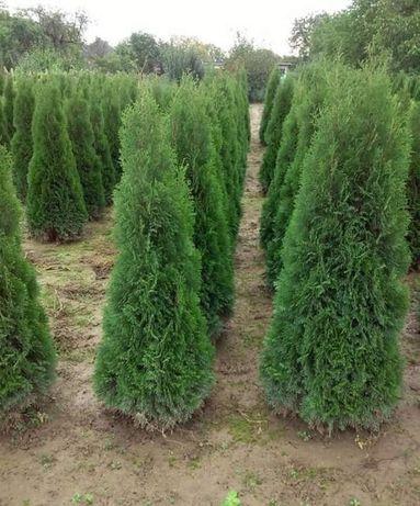 Plante ornamentale,Tuia smarald, brad  mesteacăn