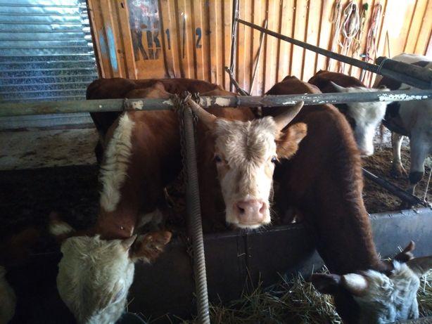 Продам 7 бычков белоголовых