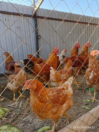 Цыплята Несушка 4месячные
