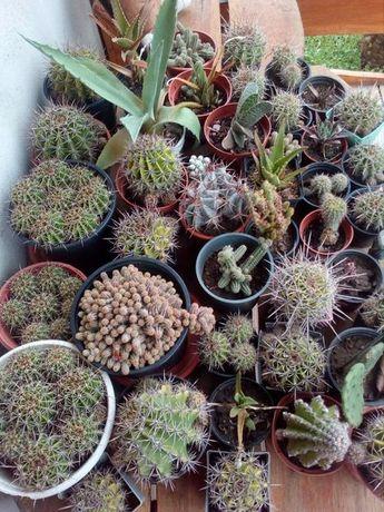 vand cactusi