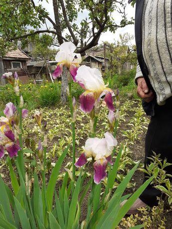 Flori perene