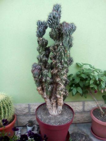 Vand cactus 119 cm