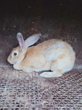 Срочно продам кролиху