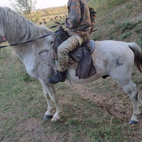 Айғыр айгыр лошадь көкпар жеребец