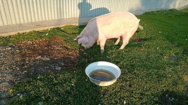 Свинина молодая очень вкусная