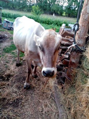 Продам корову ( первотелку )