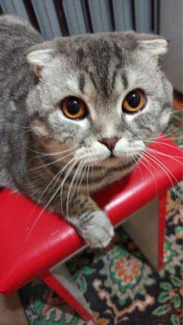 Шотландский веслоухий кот