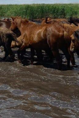 Обменяю Коров или Лошадей на машину!!!