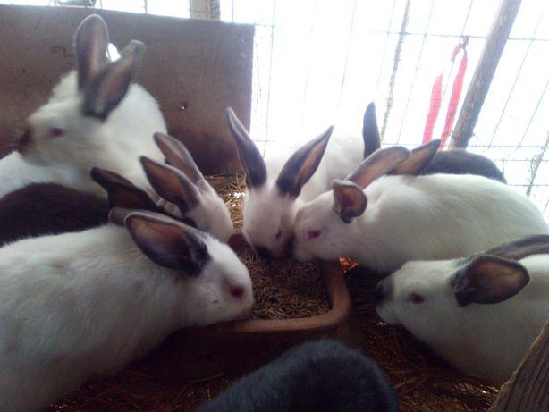Dau la schimb iepuri pe găini austrolop