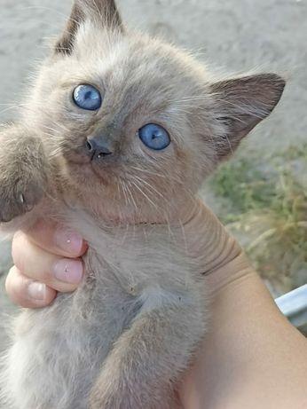 Сиамские котята в добрые руки