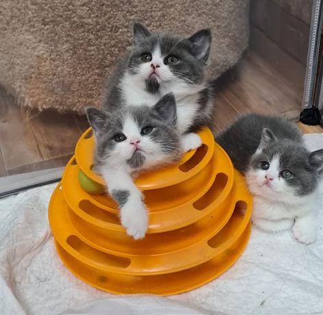 Шикарные шотландские и британские котята !