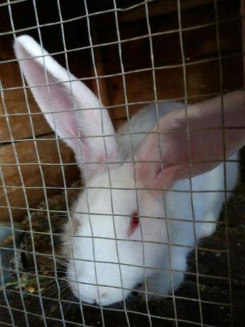 Vând iepuri de rasa