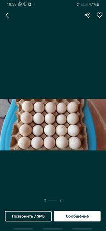 Инкубациялық жұмыртқа индюк жұмыртқасын сатамын 500тг