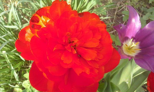 Продам Розы голландские без колючек 700 тенге .Разные многолетние цвет