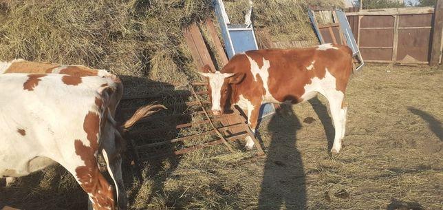 Продам КРС коровы тёлки телята