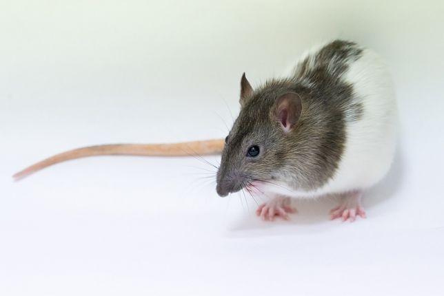 Крысы домашние
