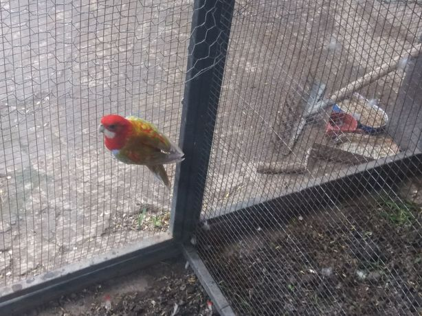 Papagali rossela
