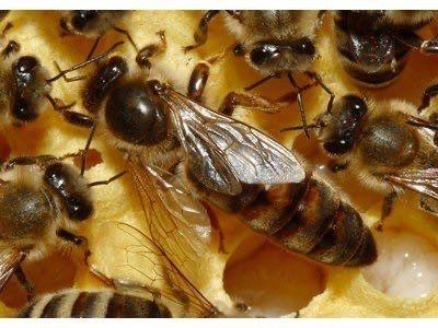 Биологични пчелни Майки и Отводки по програмите 2021