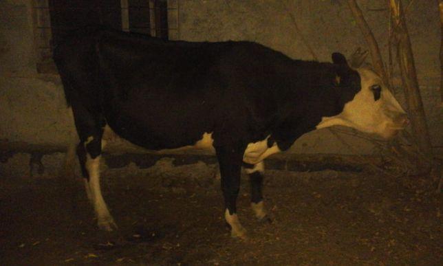 продам хорошую корову,первотелку