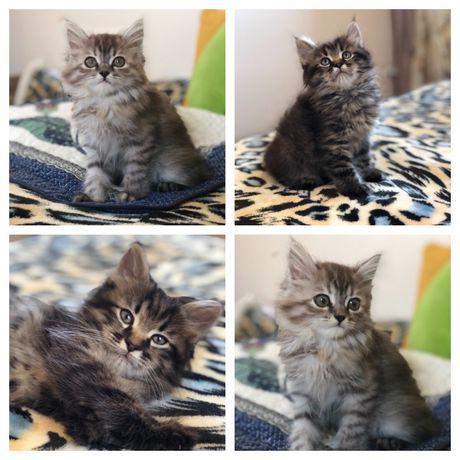 Сибирячки котята из питомника