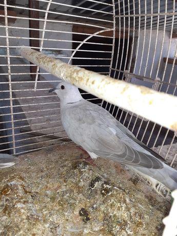 Vând porumbei cucuruzari