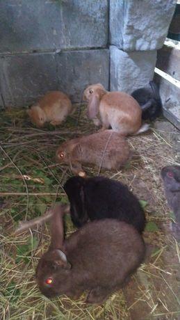 Кролики продам, помесь с бараном