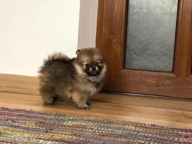 Femela Pomeranian