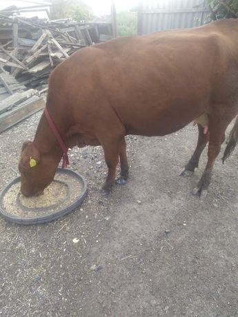 Продам корову первым отёлом