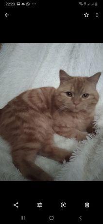 Скотиш страйт  кот 2 года