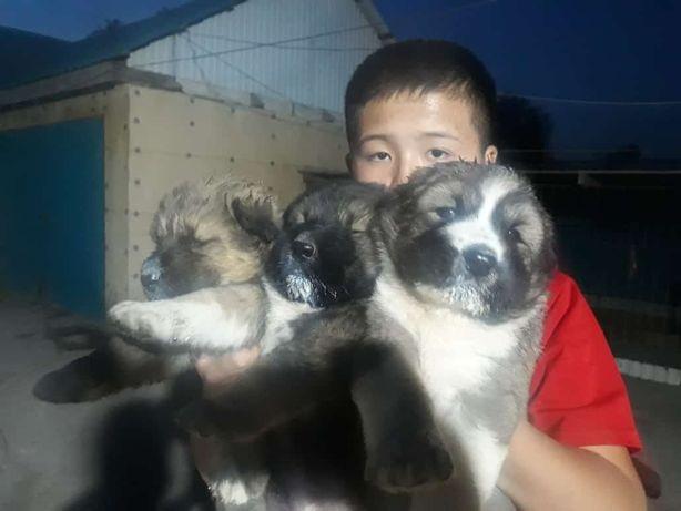 Продам щенят кавказской овчарки