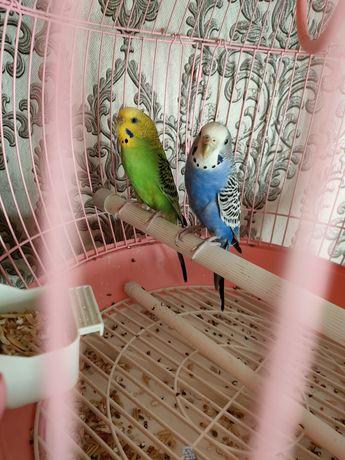 Продам попугаев молодые девочка и мальчик