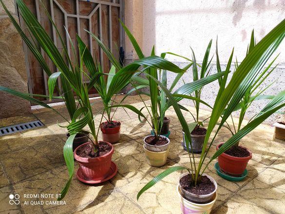 Цветя Финикови палми