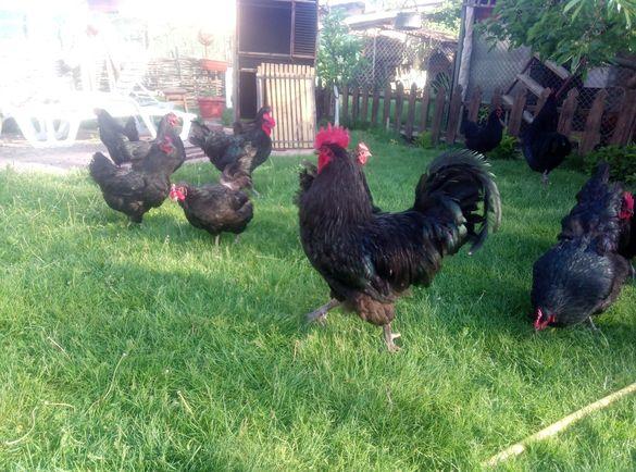 Ярки, яйца и пилета от три цвята Австралорп