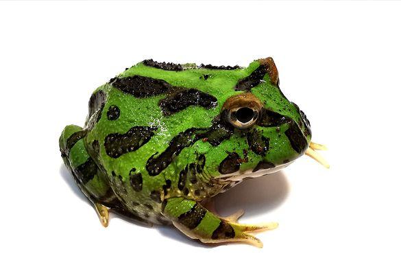 Рогата жаба - Pac Man