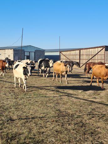 Продам КРС коровы дойные