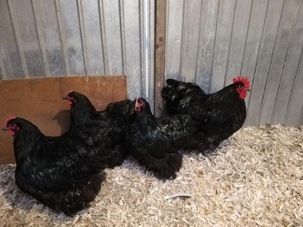 Găini Orpington