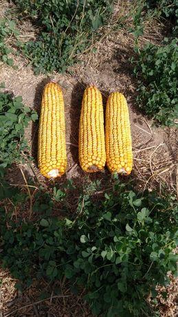 Продаю кукурузу маями