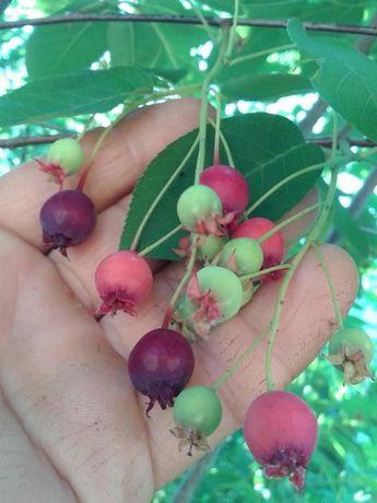 Arbore de stafide[amelanchier lamarkii]