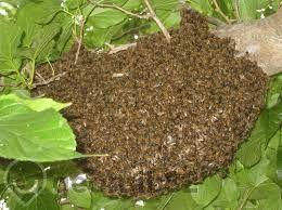 Продавам пчелни Отводки и пчелни майки
