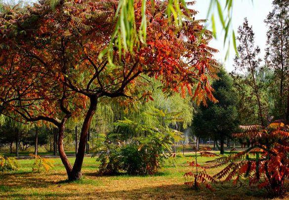 Най-интересното декоративно дърво !!Рус Туфина (влакнест шмак)
