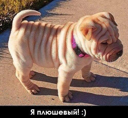 Продам щенков шарпея