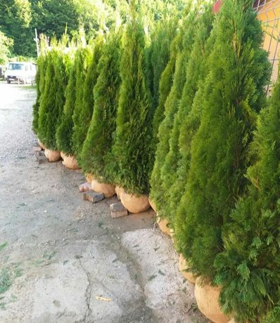 Tuia smarald  plante cu forme deosebite si copacii.pret mic