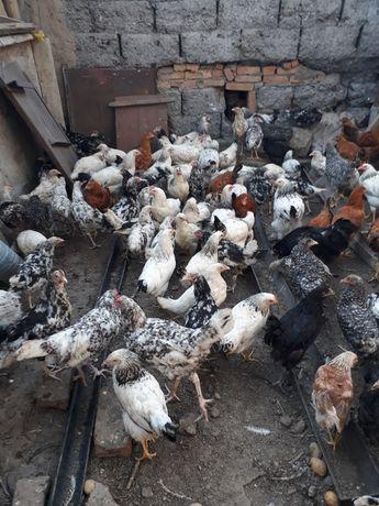 Породистых цыплят оптом продам .