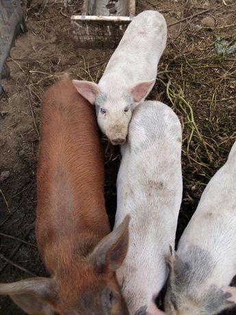 Продам свиней породы ландрас