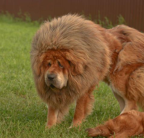 Mastiff tibetan pentru cei care doresc calitate Transport in tara