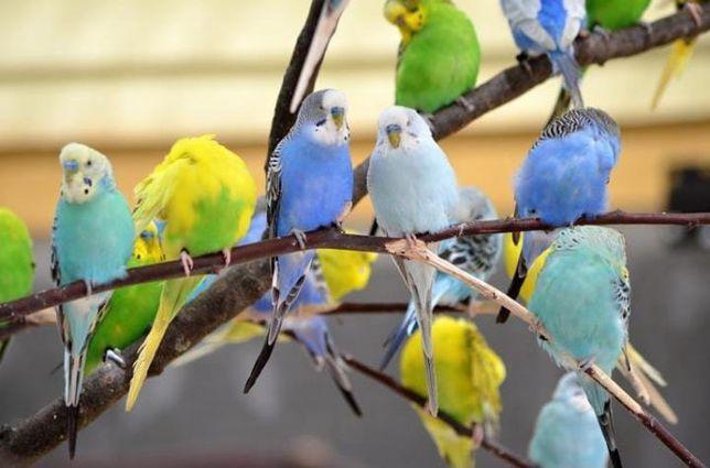 Волнистые попугаи местного разведения